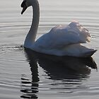 Peaceful Swan. Co. Limerick by Jean O'Callaghan