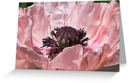 Pink Poppy by Ray Clarke