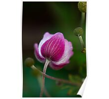 Anemone Bud Poster