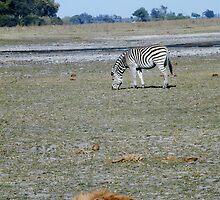 Hyena Resting near Zebra - Okavango Delta, Botswana by Nina Brandin