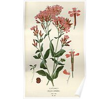 Favourite flowers of garden and greenhouse Edward Step 1896 1897 Volume 1 0126 Catchfly Poster