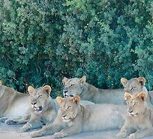 Pride of Lions Eying Their Prey - Okavango Delta, Botswana by Nina Brandin
