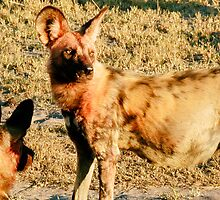 Pregnant Female Wild Dog After the Hunt - Okavango Delta, Botswana by Nina Brandin