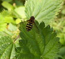 Hoverfly on a Stinging Nettle leaf by DEB VINCENT