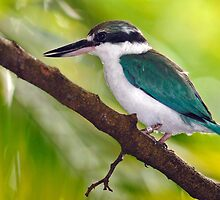 Collared Kingfisher by Winston D. Munnings