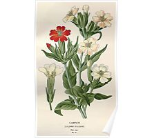 Favourite flowers of garden and greenhouse Edward Step 1896 1897 Volume 1 0132 Campion Poster