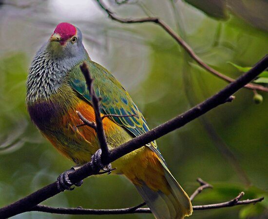 Mariana Fruit Dove  by Winston D. Munnings