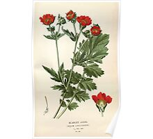 Favourite flowers of garden and greenhouse Edward Step 1896 1897 Volume 2 0034 Scarlet Avens Poster
