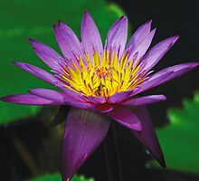 Water Lily  by onegenerator