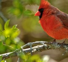 Northern Cardinal - Ottawa, Ontario Sticker