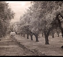 A walk through an olive grove  by Rene Hales