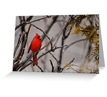 Male Northern Cardinal - Ottawa Ontario Greeting Card