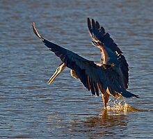 Heron Fishing by Marvin Collins