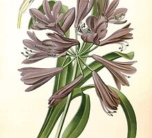 Favourite flowers of garden and greenhouse Edward Step 1896 1897 Volume 4 0171 African Lily by wetdryvac