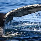 Humpback Whale Tail by capecodart
