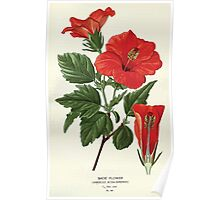 Favourite flowers of garden and greenhouse Edward Step 1896 1897 Volume 1 0156 Shoe Flower Poster