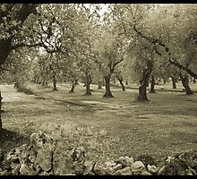Olive grove and rock wall by Rene Hales