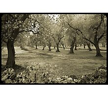 Olive grove and rock wall Photographic Print