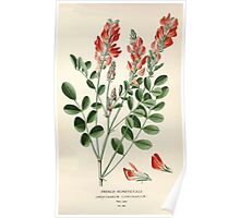 Favourite flowers of garden and greenhouse Edward Step 1896 1897 Volume 1 0213 French Honeysuckle Poster