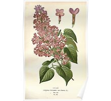 Favourite flowers of garden and greenhouse Edward Step 1896 1897 Volume 3 0077 Lilac Poster