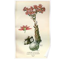 Favourite flowers of garden and greenhouse Edward Step 1896 1897 Volume 2 0073 Cobwebby Houseleek Poster