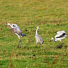 Sandhill Crane Dance by Molly  Kinsey