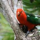 A Friendly Male King Parrot by aussiebushstick