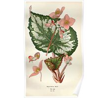Favourite flowers of garden and greenhouse Edward Step 1896 1897 Volume 2 0112 Begonia Rex Poster