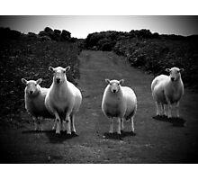 Sheep Photographic Print