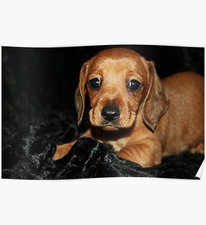 Mini smooth dachshund puppy Poster