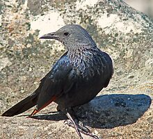 Red winged starling by jozi1