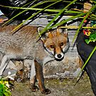 Still Life With Fox by John Hooton
