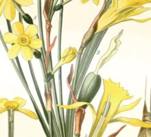 Favourite flowers of garden and greenhouse Edward Step 1896 1897 Volume 4 0111 Jonquil and Daffodil Sticker