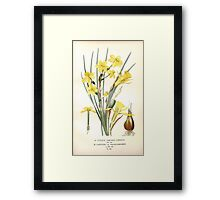 Favourite flowers of garden and greenhouse Edward Step 1896 1897 Volume 4 0111 Jonquil and Daffodil Framed Print