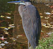 Election Day Heron by Lanis Rossi