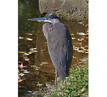 Election Day Heron Photographic Print