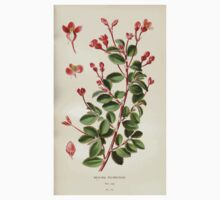 Favourite flowers of garden and greenhouse Edward Step 1896 1897 Volume 2 0115 Begonia Fuchsioides One Piece - Short Sleeve