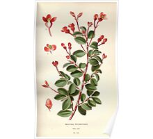 Favourite flowers of garden and greenhouse Edward Step 1896 1897 Volume 2 0115 Begonia Fuchsioides Poster