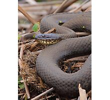Northern Water Snake Photographic Print