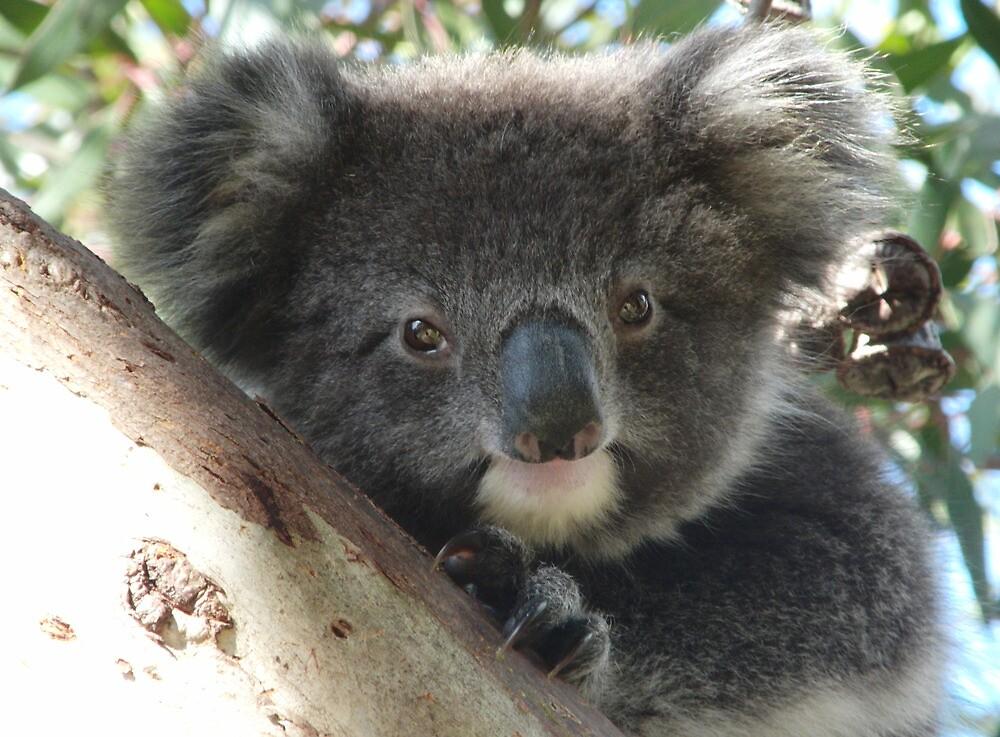 Baby Koala (Phascolarctos cinereus) Close-Up Portrait - Mount Osmond, South Australia by Dan & Emma Monceaux