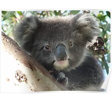 Baby Koala (Phascolarctos cinereus) Close-Up Portrait - Mount Osmond, South Australia Poster