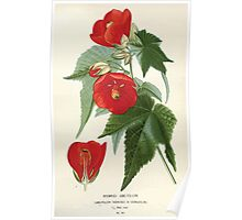 Favourite flowers of garden and greenhouse Edward Step 1896 1897 Volume 1 0159 Hybrid Abutilon Poster