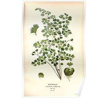 Favourite flowers of garden and greenhouse Edward Step 1896 1897 Volume 4 0323 Maidenhair Poster