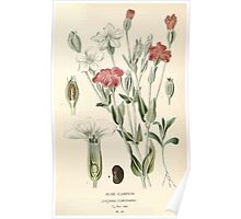 Favourite flowers of garden and greenhouse Edward Step 1896 1897 Volume 1 0135 Rose Campion Poster