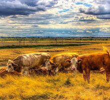 The Friendly Cows by DavidHornchurch