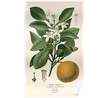 Favourite flowers of garden and greenhouse Edward Step 1896 1897 Volume 1 0195 Sweet Orange Poster