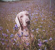 Vintage Weimaraner - in a field of Flowers by weimoo