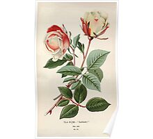 Favourite flowers of garden and greenhouse Edward Step 1896 1897 Volume 1 0234 Tea Rose or Safrano Poster