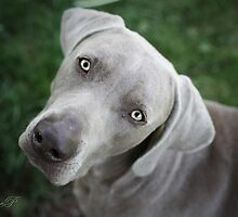 Weimaraner Eyes by weimoo