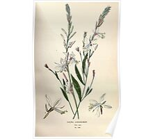 Favourite flowers of garden and greenhouse Edward Step 1896 1897 Volume 2 0100 Gaura Lindheimeri Poster
